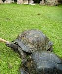 800px-Seychelles_giant_tortoise.jpg