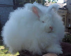 kelinci angora imut