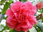 桃紅色 牡丹咲き 大輪