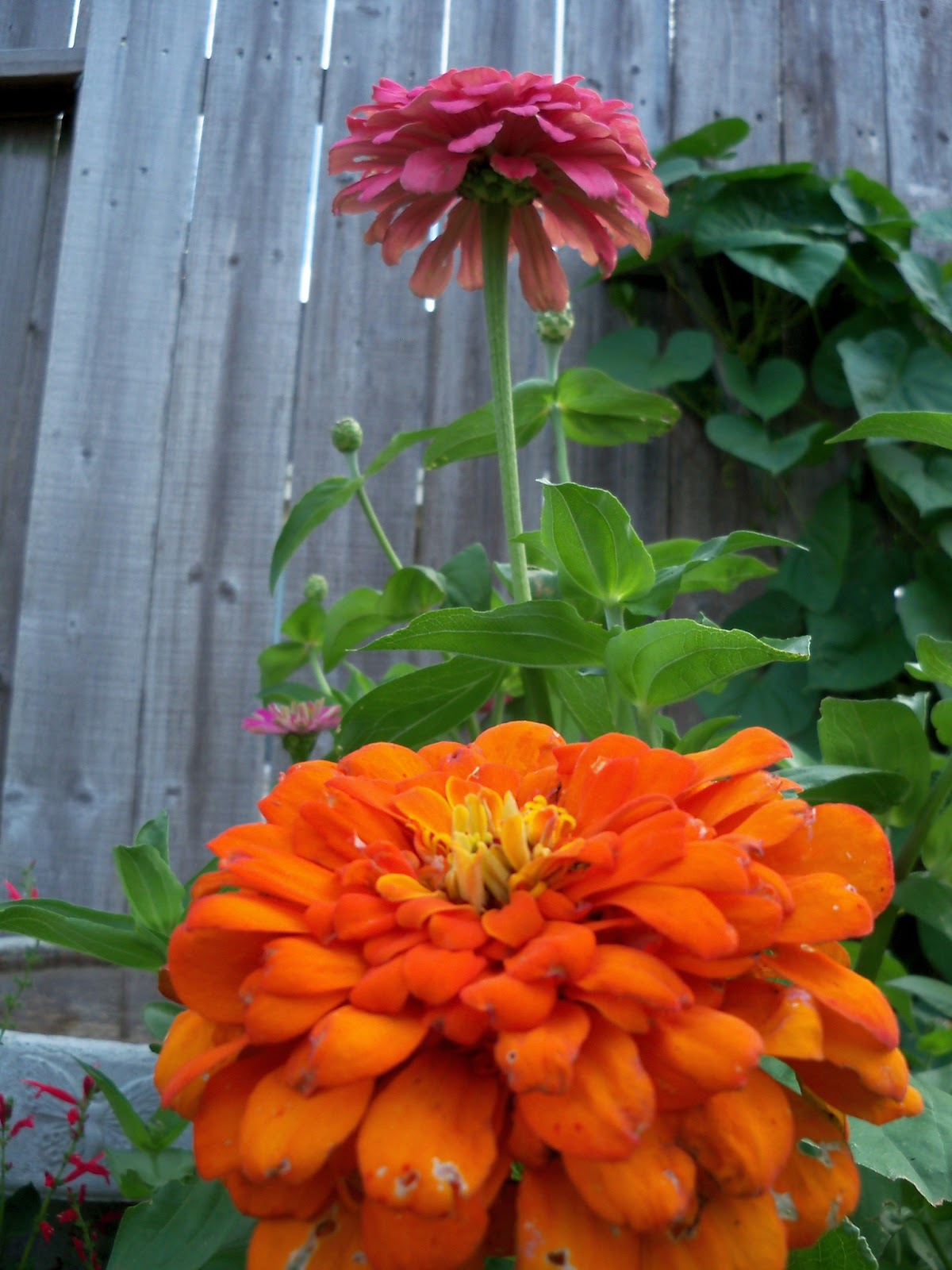 Gardening 2011 - 100_8195.JPG