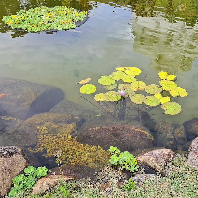 Plantas aquáticas na Praça Torii do Mosteiro Zen Budista, ES.