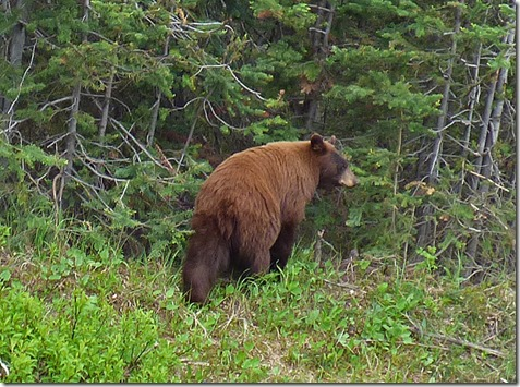 Bear South of Tutshi Lake