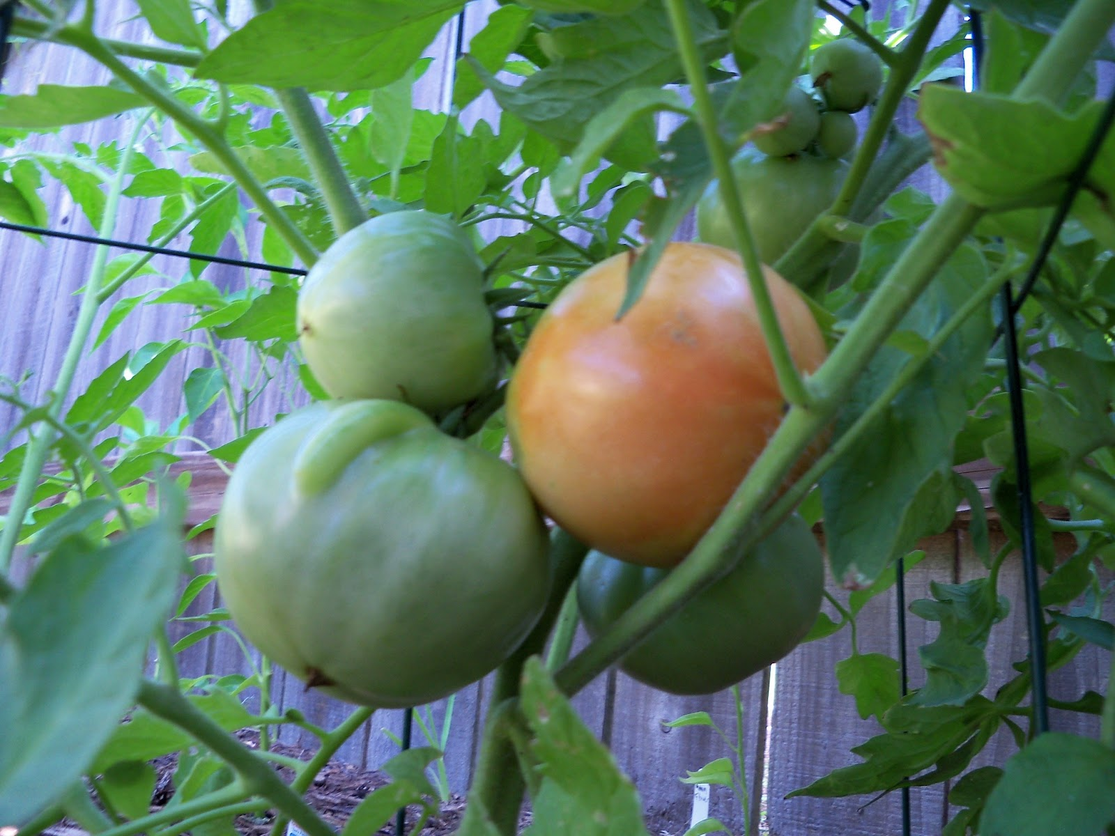 Gardening 2011 - 100_9031.JPG