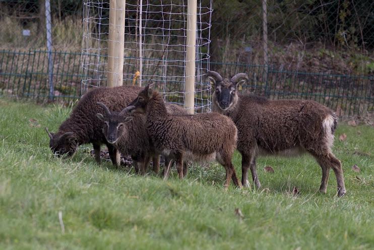 Schafe halten teil i for Schafe halten im garten