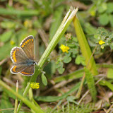 Aricia agestis DENIS & SCHIFFERMÜLLER, 1775, femelle. Les Hautes-Lisières (Rouvres, 28), 16 juin 2011. Photo : J.-M. Gayman