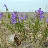 Scutellaria incana Шлемник 0.9м 40*50.