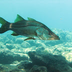 Snook @ Bari reef