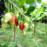 Aardbeien bij Zachtfruitbedrijf Makkink