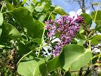 May 10: Lilac
