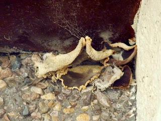 Peziza Domiciliana Carpet Cup Scottish Fungi