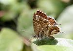 Bronzesommerfugl.2, Cacyreus marshalli.jpg