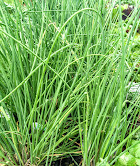 CHIVES – Much like onions and garlic, chives have high allicin content as well as cancer fighting antioxidants.