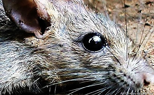 Tikus rumah ( Rattus rattus diardii )