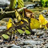 Rassemblement de papillons mud-puddlant : Eurytides serville serville, Papilio thoas cinyras, Phoebis philea philea et Historis odius dious. Taipiplaya, 900 m (Yungas, Bolivie), 20 décembre 2014. Photo : Jan Flindt Christensen