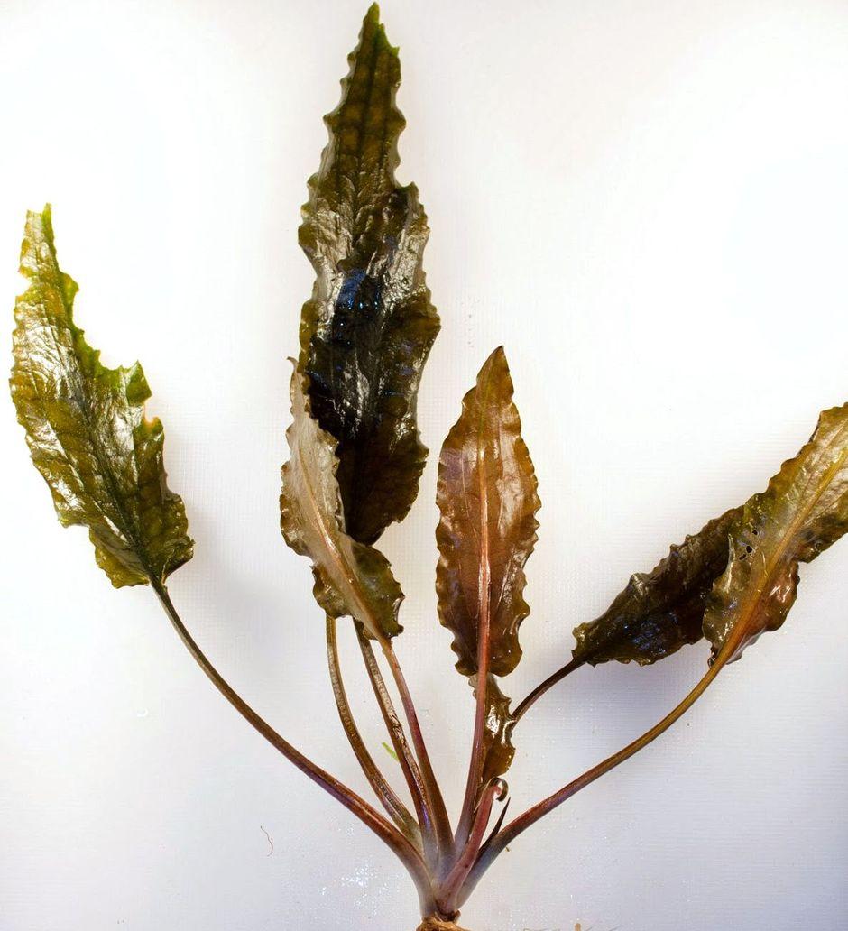 Криптокорина Вендта (Cryptocoryne wendtii)