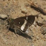 Hesperiidae : Coeliadinae : Coeliades ramanatek (BOISDUVAL, 1833), endémique. Parc d'Andasibe-Mantadia (Madagascar), 29 décembre 2013. Photo : T. Laugier