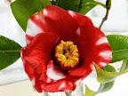紅色地 白斑入り 一重 筒咲き 小〜中輪