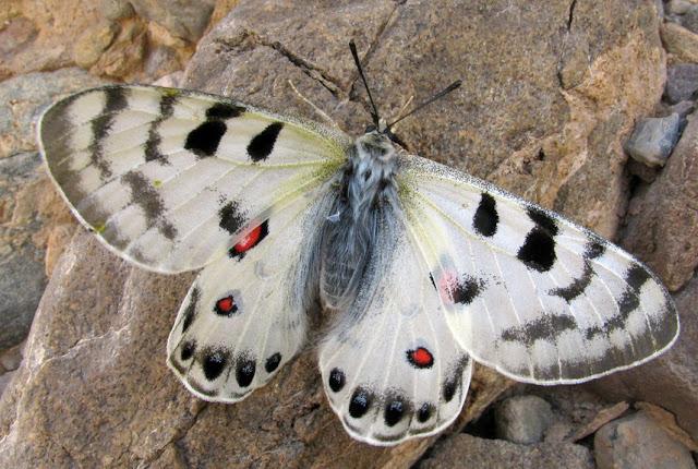 Parnassius (Kailasius) davydovi CHURKIN, 2006, mâle. Moldo Tau, Kyrgyzistan, juin 2009. Photo : Andrej Sochivko