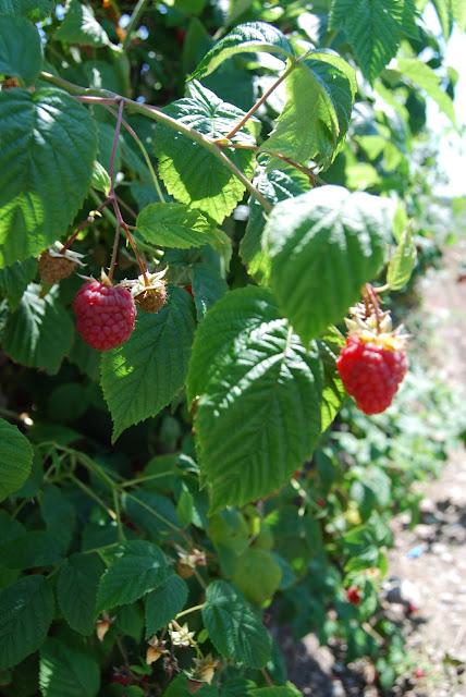 Raspberries / Credit: Bellingham Whatcom County Tourism