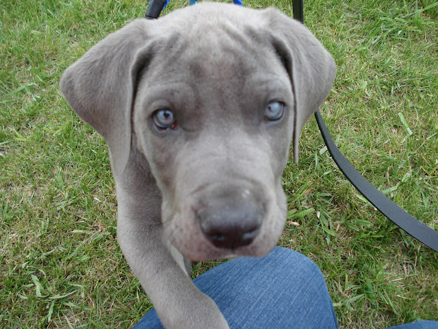 The Dynamite Danes Family! - Dog%2B8wks%2B038.jpg