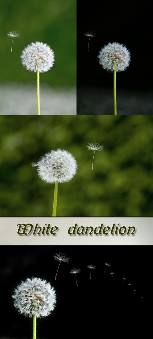 Stock Photo: White dandelion