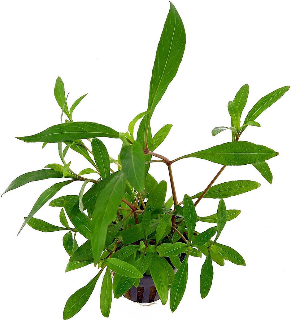 Лимонник (Гигрофила коримбоза) (Hygrophila corymbosa)