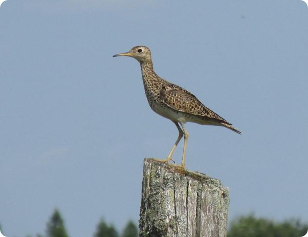 IMG_6942 Upland Sandpiper Bird (1)
