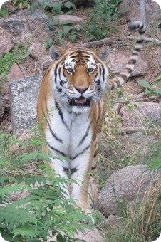 Tiger at Cheyenne Mountain Zoo