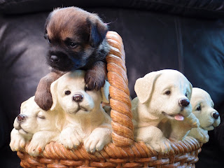 Miss Pink in a basket of Lab pups