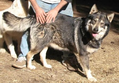 Gallery of Wolf Dogs - Pictures & Videos at www californiawolves com