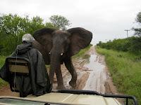 Elephant too close for comfort - Balule Reserve - Kruger NP, South Africa