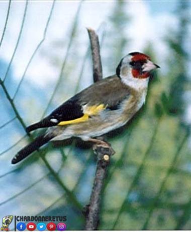 أصناف طائر الحسون - les races de chardonneret