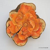 """Rose orange"", Öl auf Eibenholz, 10x15, 2006"