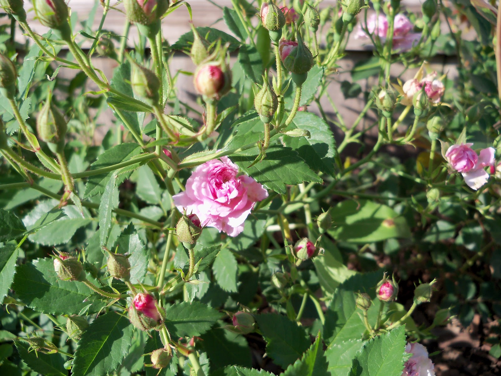Gardening 2010 - 101_1478.JPG