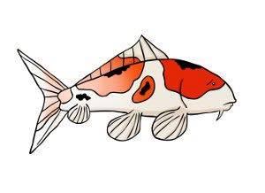 Cá Koi mất màu