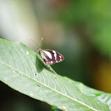 Pieriballia viardi tithoroides (BUTLER, 1898), femelle. Rio Los Cedros, 1280 m. Montagnes de Toisan, Cordillère de La Plata (Imbabura, Équateur), 19 novembre 2013. Photo : J.-M. Gayman