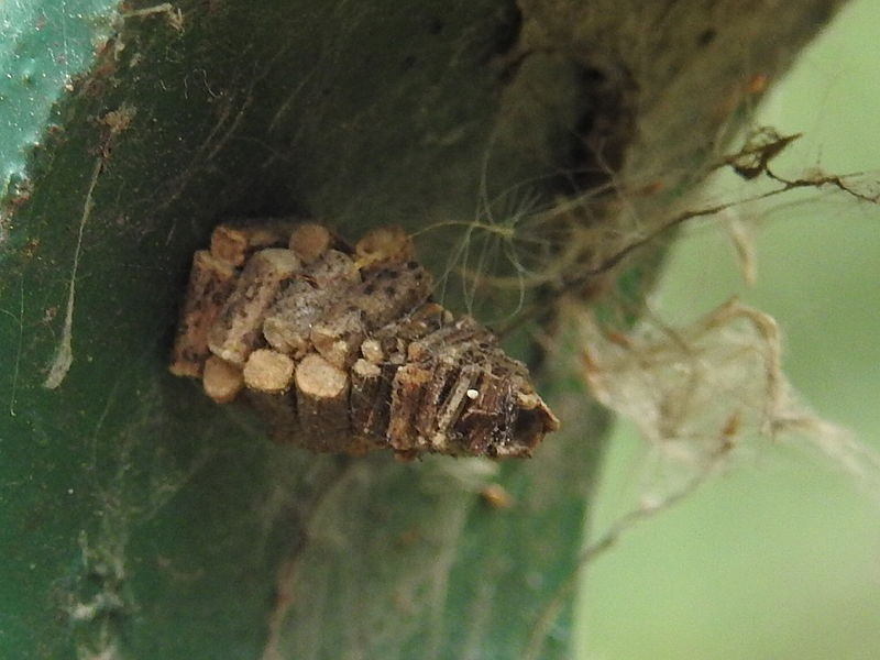 bagworm-moths-case-7