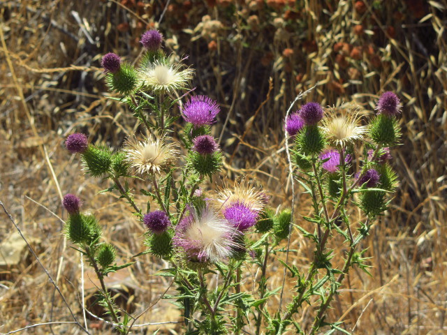 nice purple thistle