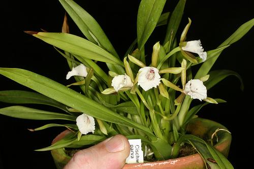 Растения из Тюмени. Краткий обзор - Страница 3 Cischweinfia%252520dasyandra2