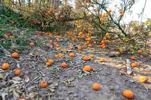 Nhìn đống quất khô chất đống bên đường, ông Nguyễn Văn Hùng (56 tuổi) lo lắng cho số phận hơn 200 cây quất còn lại. Vườn nhà ông Hùng chủ yếu trồng cây quất thế, dịp giáp Tết bán được giá từ 8- 10 triệu/cây. Nay vườn ông đã bị chết tới gần 100 gốc quất cổ thụ.