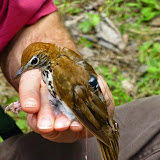 Wood Thrush Project