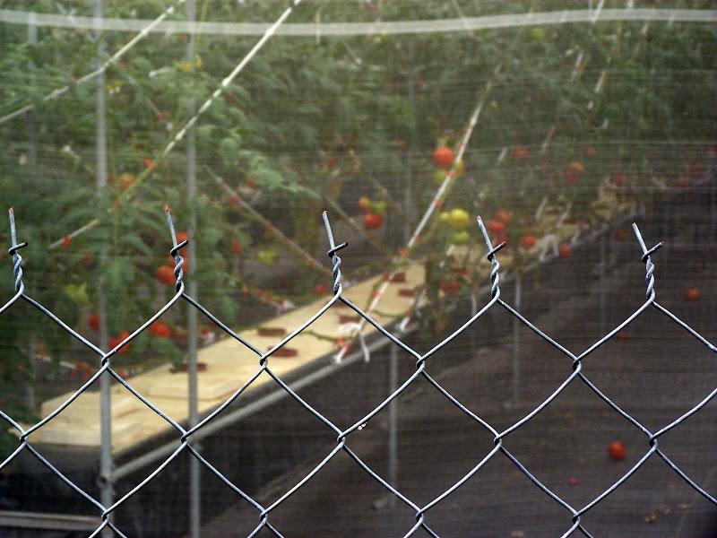 culture de tomates hors sol