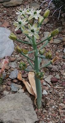 Ethesia xanthochlora (Ornithogalum xanthochlorum) - Tanqua Karoo