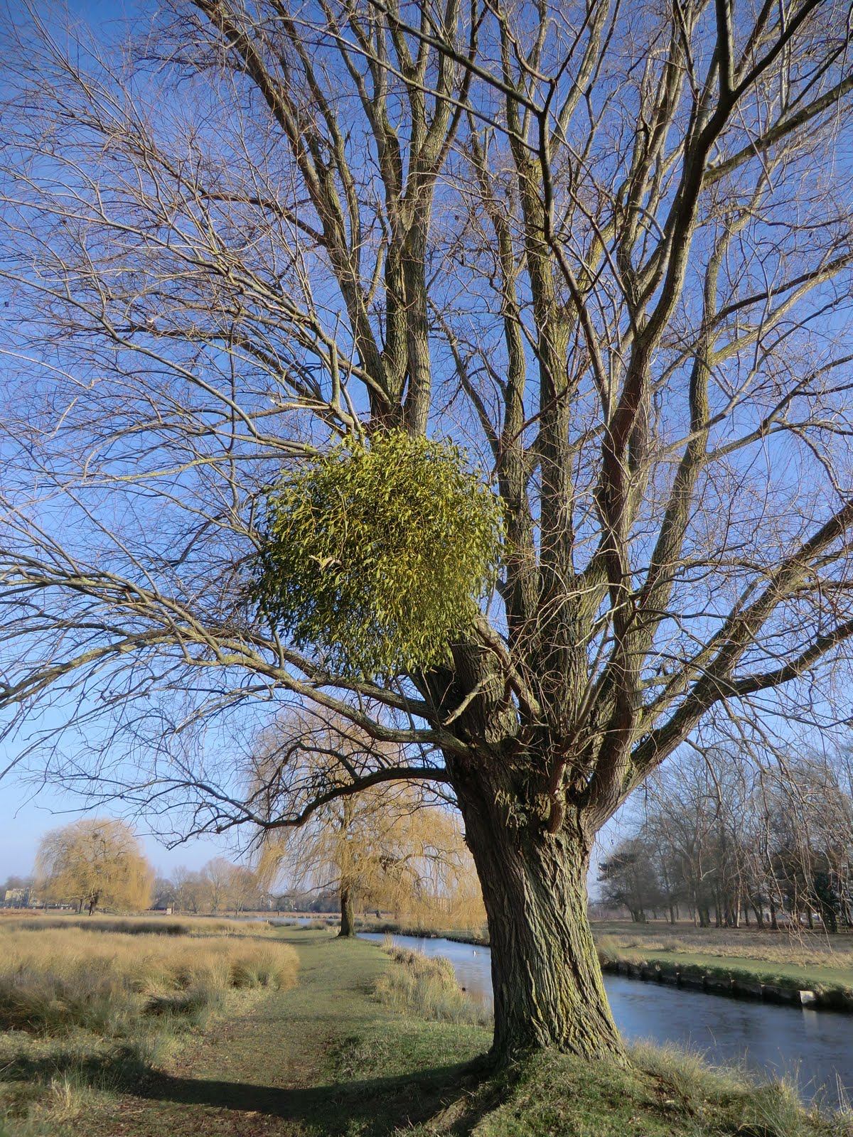 CIMG6451 Mistletoe on willow, Bushy Park