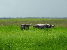 2 buffalo bulls on the flood plains Carmor Plains. The one on the left is fantastic!