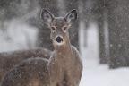 BLANC BONNET L'hiver, seules les ramilles d'arbres et d'arbustes demeurent disponibles. Ce changement d'alimentation s'accompagne d'une adaptation du système digestif qui permet au cerf d?augmenter sa digestion des fibres ligneuses.