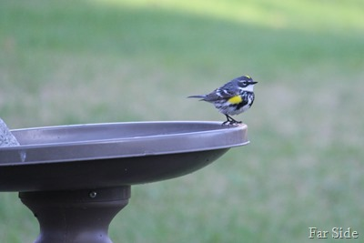 Yellow Rumped warbler or a Butter Butt
