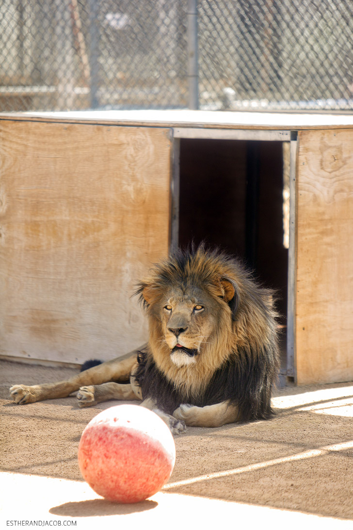 MGM Lion Descendents at the Lion Habitat Las Vegas.
