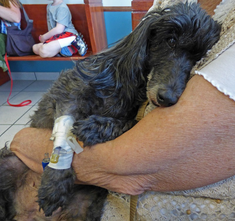 Skruffy at Soldotna Animal Hospital, sick as a dog