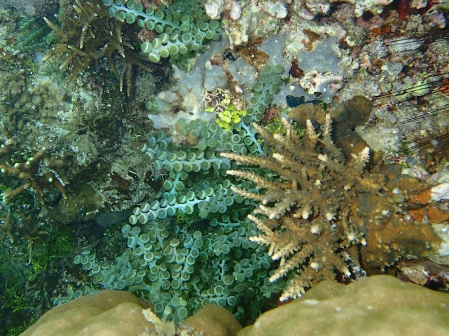 Unidentified macro algae, Sand Island, Palawan, Philippines.